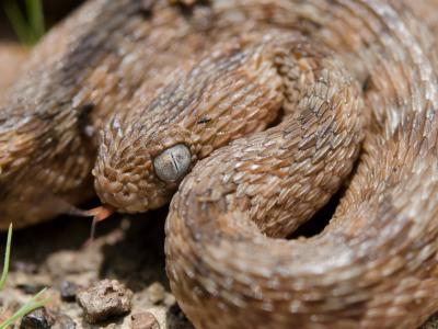 Echis ocellatus is a venomous viper species endemic to West Africa.